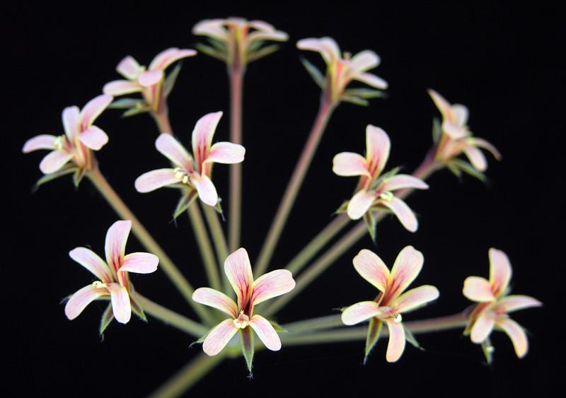 Pelargonium luteolum?