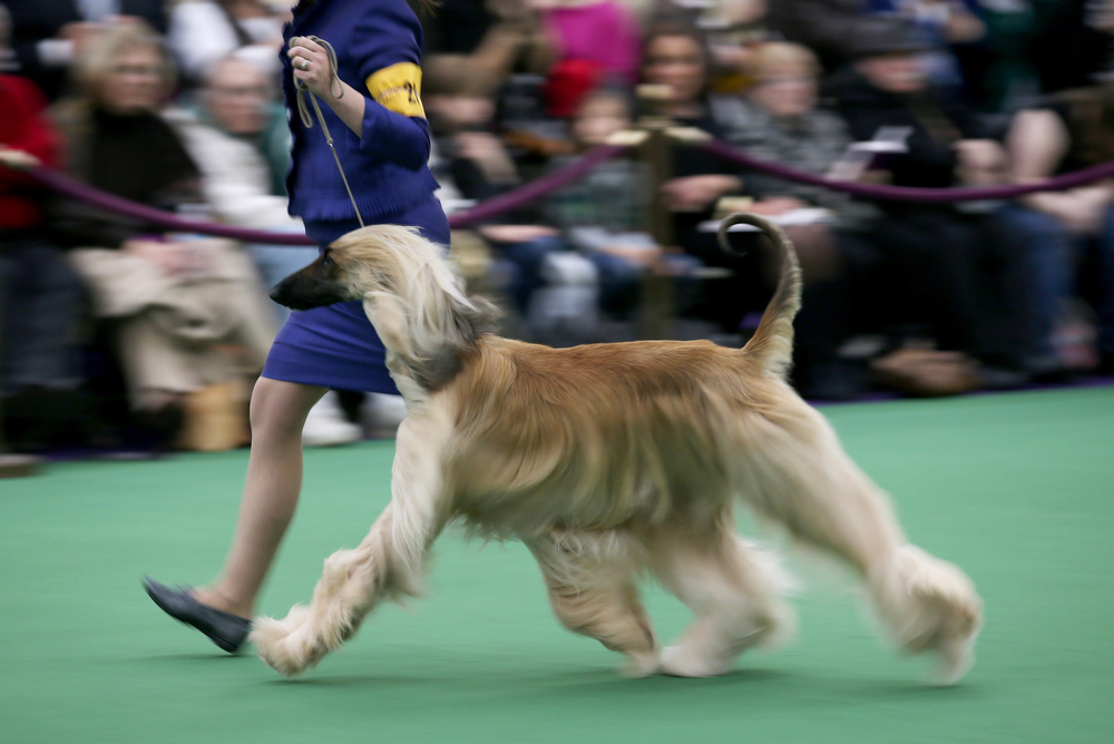 . An Afghan Hound competes during the 137th Westminster Kennel Club Dog Show on February 11, 2013 in New York City. A total of 2,721 dogs from 187 breeds and varieties are to compete in the event, hailed by organizers as the second oldest sporting competition in America, after the Kentucky Derby. The Best in Show dog is to be selected at Madison Square Garden Tuesday night.  (Photo by John Moore/Getty Images)