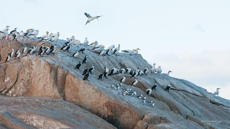Black-faced Cormorant, Australian Gannet, Crested Tern, Eaglehawk Neck, TAS, Feb 2011.jpg