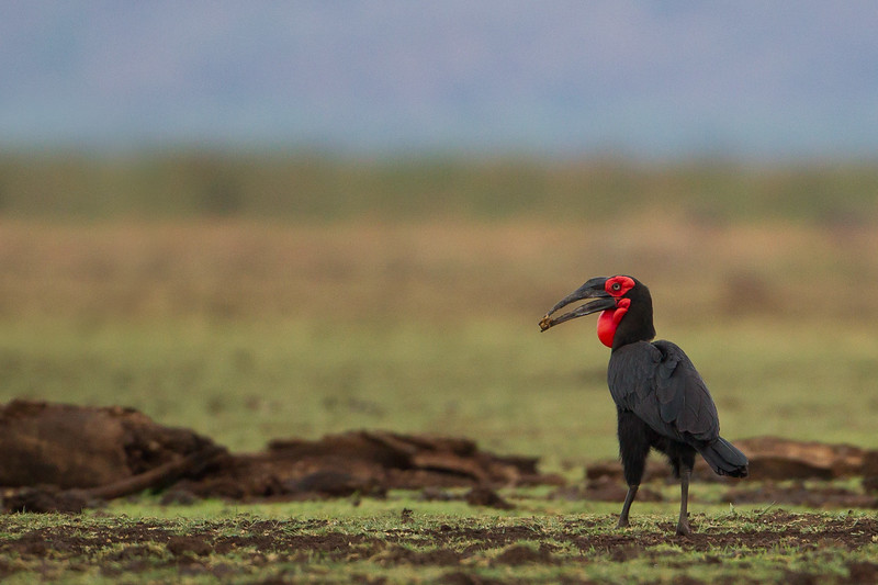 Southern Ground Hornbill - Lake Manyara National Park, Tanzania