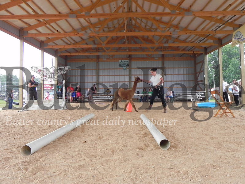 The 4-H Alpaca Showmanship and Obstacle Courses on Wednesday morning were a first this year at the Butler Farm Show. Photo by Gabriella Canales.