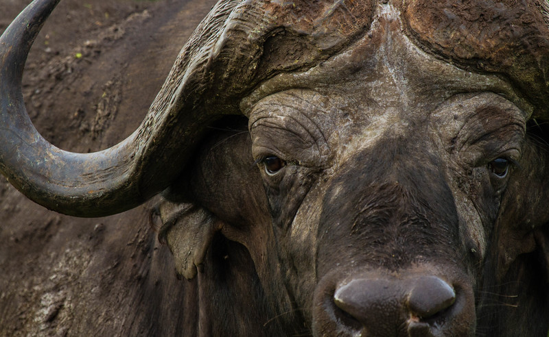 Staring buffalo, Kruger National Park