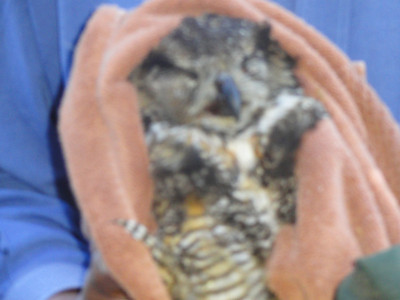Great Horned Owl Rescued from Road