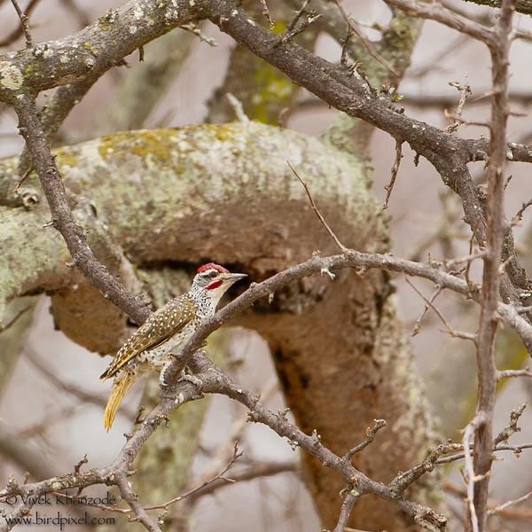 Golden-tailed Woodpecker - Tarangire National Park, Tanzania