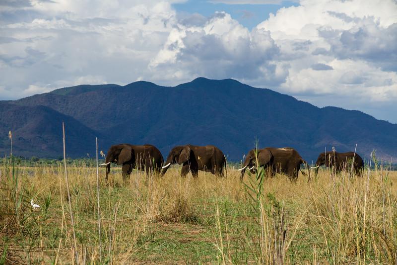 Elephants Zambezi