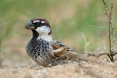 Passeridae (Old World Sparrows, Snowfinches)