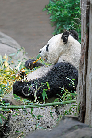 Giant Panda Bear Wildlife Photography