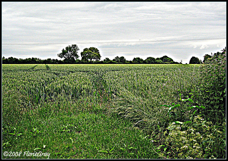 Over and Over the Crow Cries 'Uncover the Cornfield'  ©2008 FlorieGray