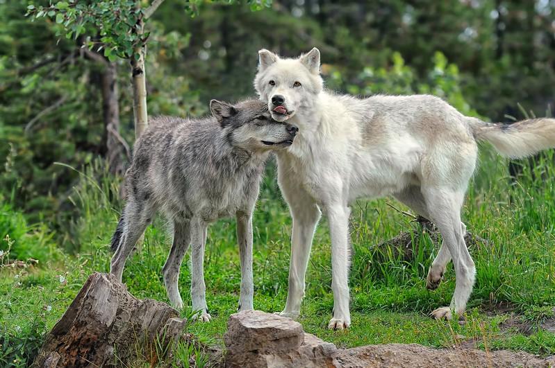 Canis lupus Love
