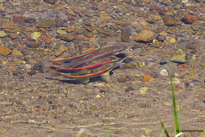 Independence Lake, Lahontan Cuthroat Trout