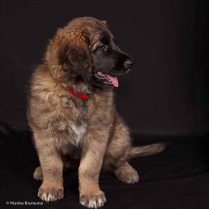 2013 Leonbergers Jonge Honden Dag