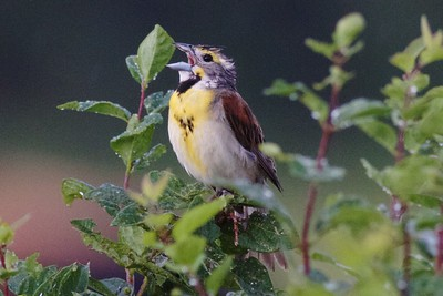 Dickcissels