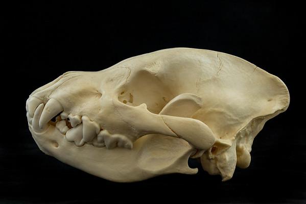 Mammal Skulls Carnivores