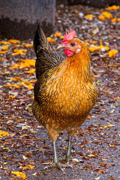 Chicken-0823.jpg