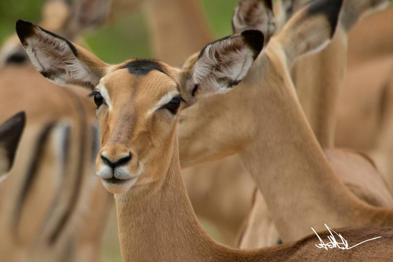 AntelopeS-8.jpg