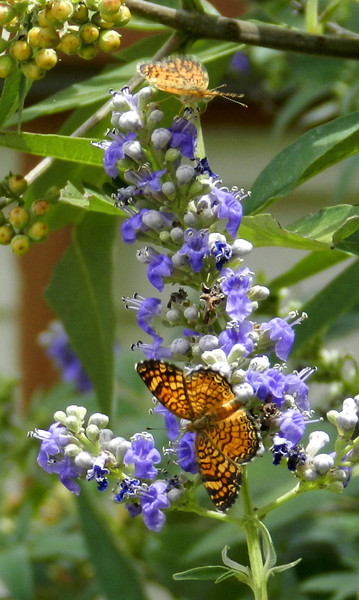 Butterflies tiny  black and orange on Vitex2.jpg
