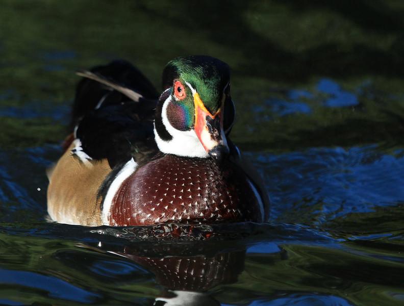 ZZHermann Park Wood Duck, Oct 13, 2011 189A.jpg