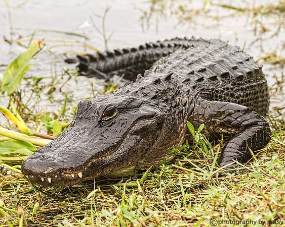 GATORS ,OTHER REPTILES, and AMPHIBIANS