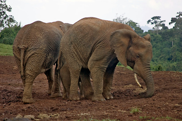 Elephant, פילים, , Loxodonta africana - אכילת מלח אברדר קניה
