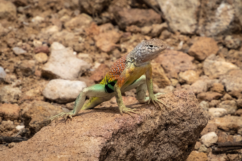 Texas greater earless lizard Big Bend Nat Park -0691.jpg