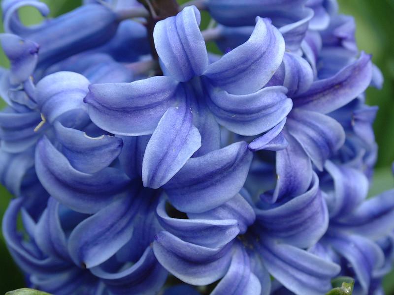 hyacinth macro.JPG