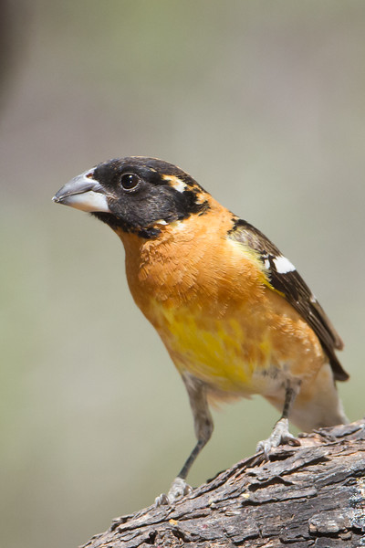 Black-headed Grosbeak - Ash Canyon B&B, Hereford, AZ, USA