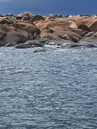 Polar Bears and Beluga Whales