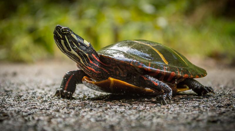 painted turtle (1 of 2).jpg