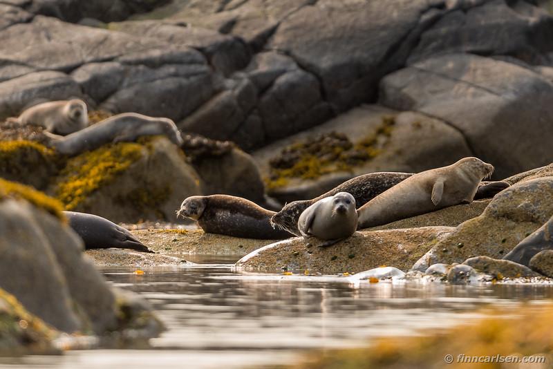 Gråsæl (Halichoerus grypus - Grey seal) og spættet sæl (Phoca vitulina - Harbor seal)