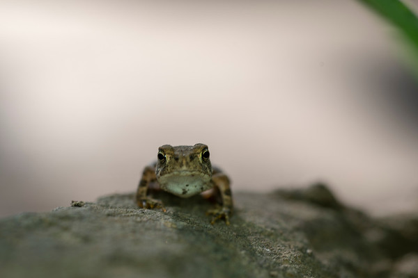 Tiny frog (toads)