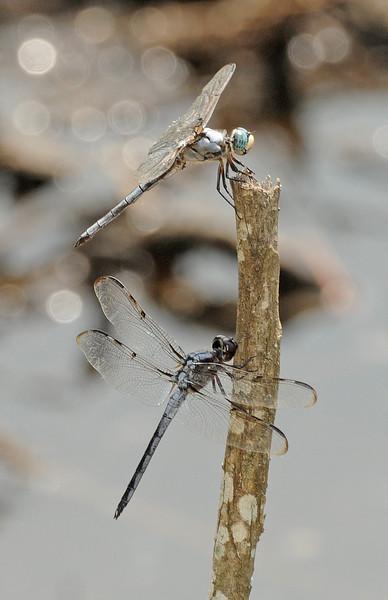 Libellula vibrans (Great Blue Skimmer) and Libellula axilena (Bar-winged Skimmer), GA - male