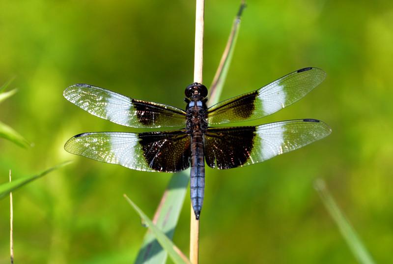 Blue-wing-dragonflyboetler.jpg