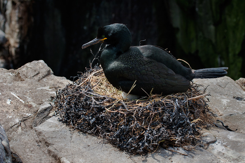 Shag on Nest_mg_0546.jpg