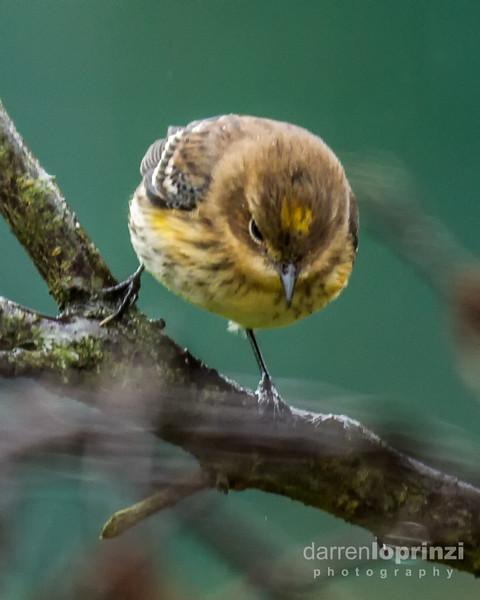 yellow rumped warbler wm-.jpg