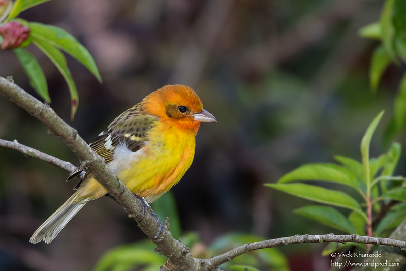 Flame-colored Tanager - Male - Los Quetzales Lodge, Guadalupe, Panama