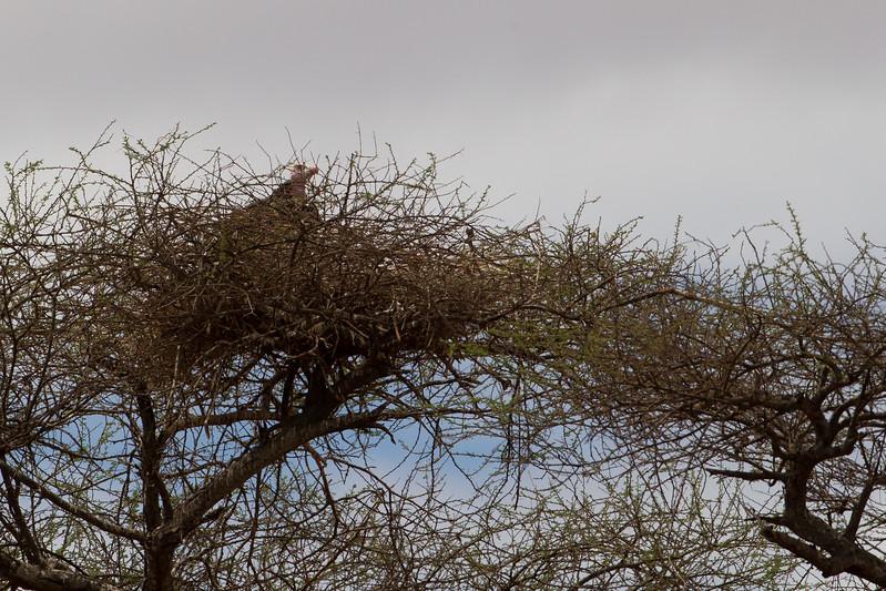Lappet-faced Vulture on nest - Tarangire National Park, Tanzania
