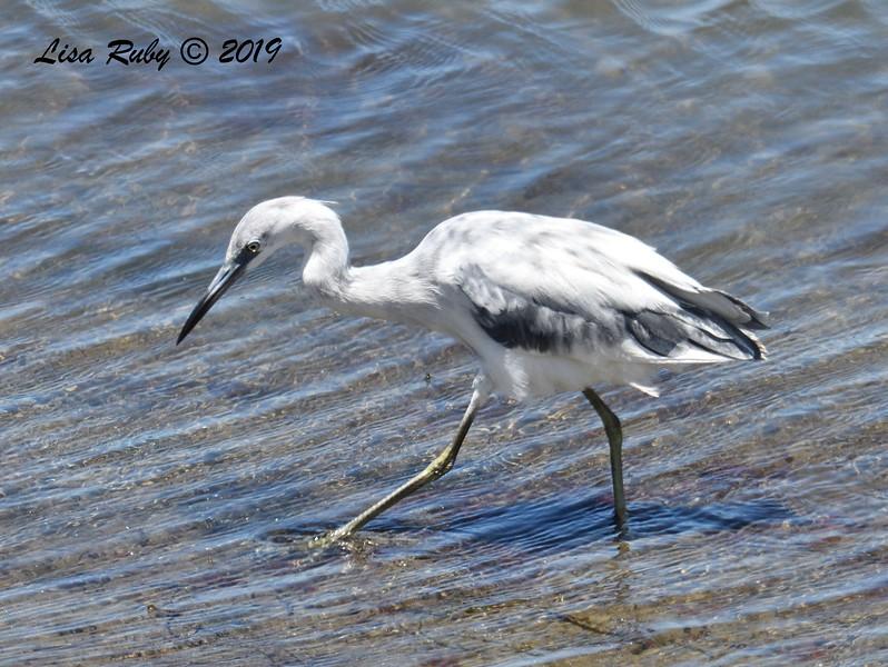 Immature Little Blue Heron  - 05/27/2019 - Robb Field