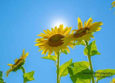 Coppal House Farm Sunflower Festival