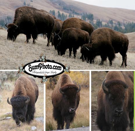 Buffalo Selection Showcase