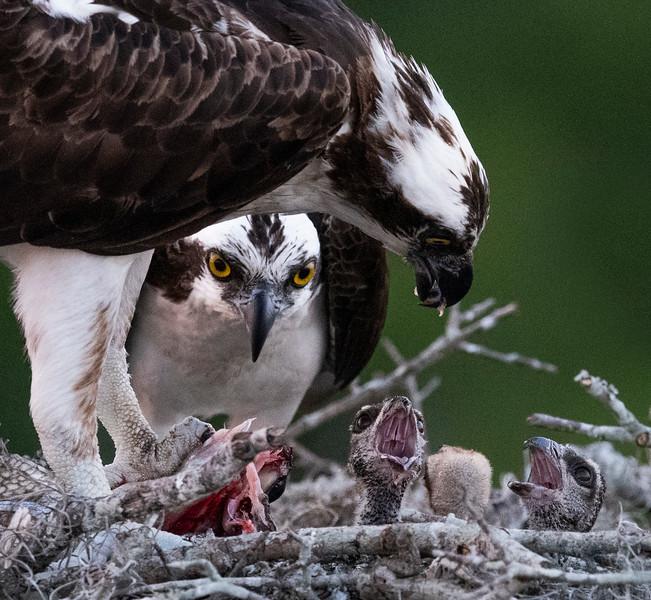 osprey nest 4 12 19-182.jpg