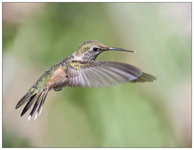 Western Hummingbirds