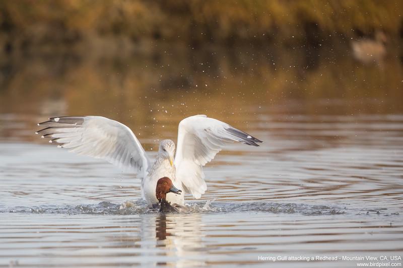 Herring Gull attacking a Redhead - Mountain View, CA, USA