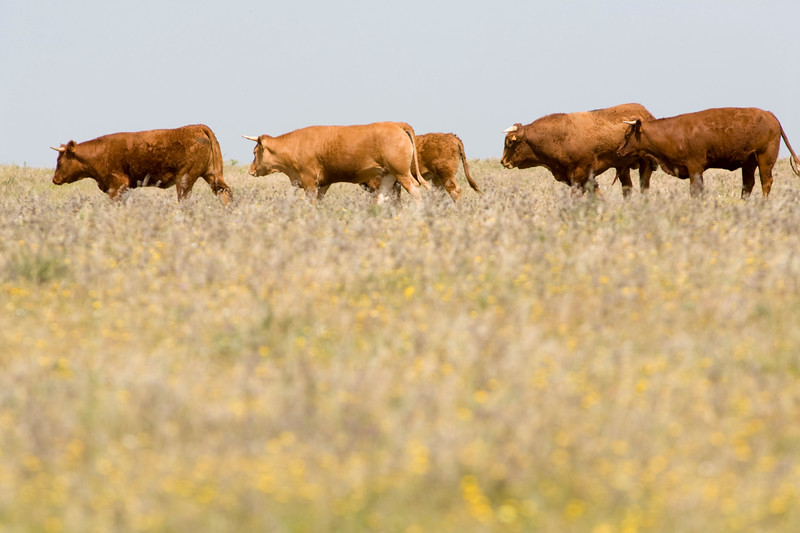 Flock of retinto bulls and cows, Caceres, Spain