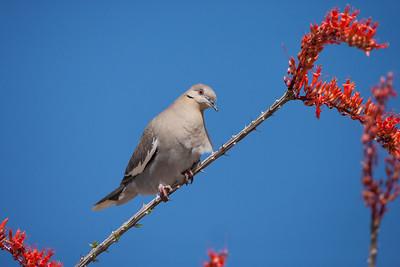 Pigeons, Doves (Columbidae)