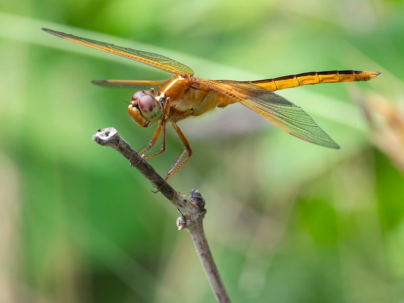 Needham's Skimmer (Libellula needhami), male