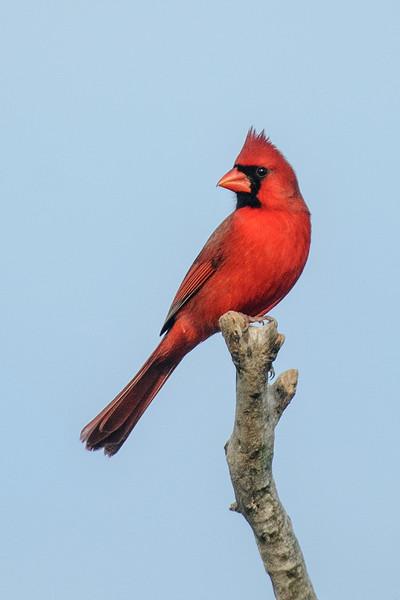 Cardinal - Northern - male - Bowman's Beach - Sanibel Island, FL