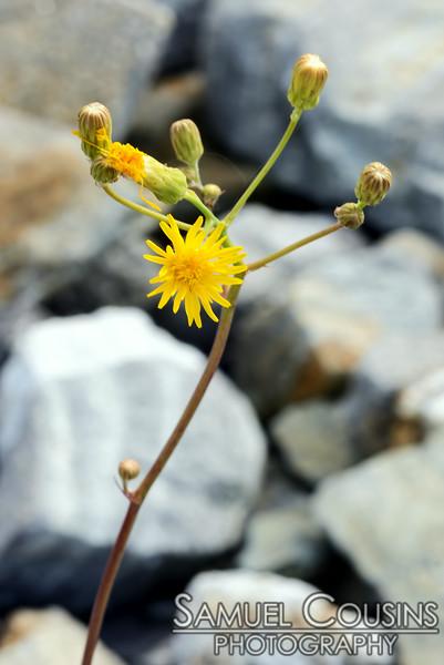 Close up on a dandelion.