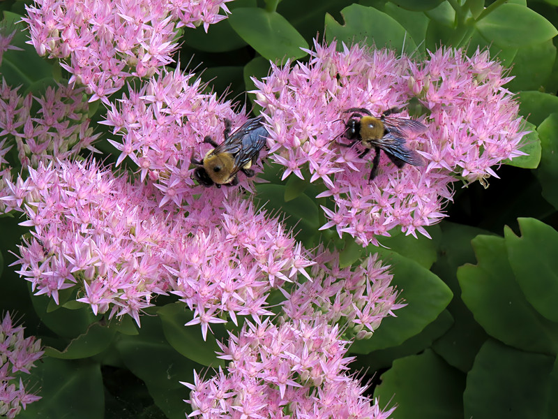 sx50_bumblebee_flora_266.jpg