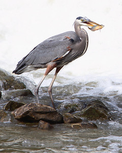 Blue Heron at the Mill