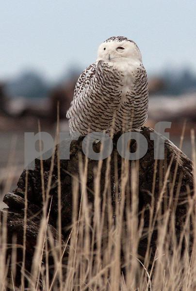 Snowy owl 5540c.jpg